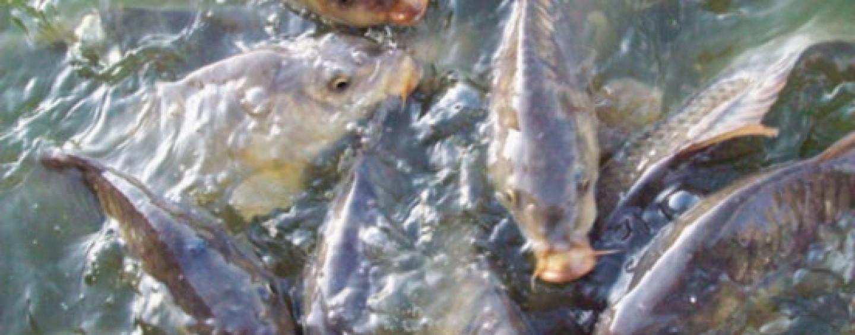 5 cebos para pescar grandes carpas, los clásicos.