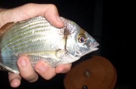 Pesca de sargos al toque, te explicamos como