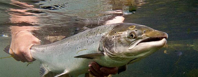 Cómo se controlan las poblaciones de salmón en España