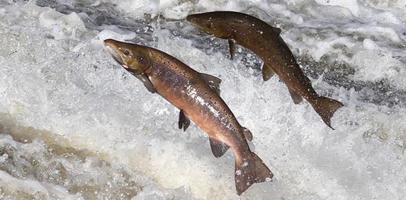El futuro de los ríos salmoneros en España, una reflexión tras el análisis de todos nuestros cauces