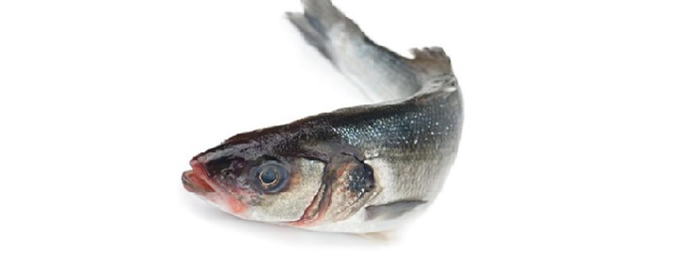 El depredador más apreciado por el pescador martimo, la Lubina