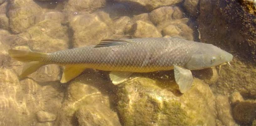 La pesca del barbo gitano: bravo, combativo, pero cada día menos abundante