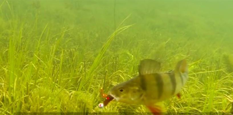 La pesca de la perca europea en cuando entre el fin del invierno y arranque de primavera