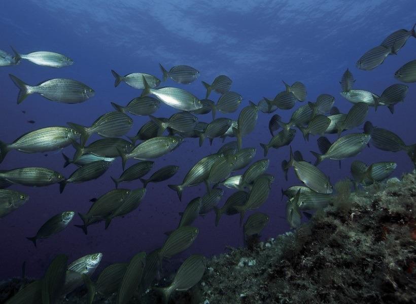 pesca-en-el-mar-en-otono-de-salpas-al-coup