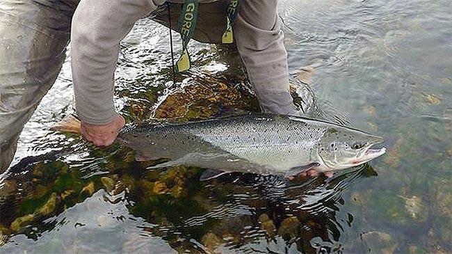salmon-sella