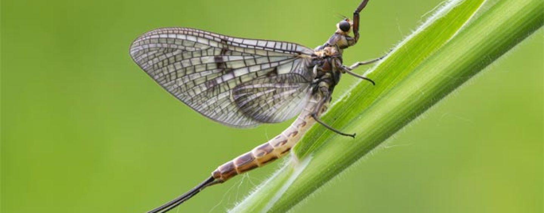 Ephemera Danica la mosca de mayo por excelencia