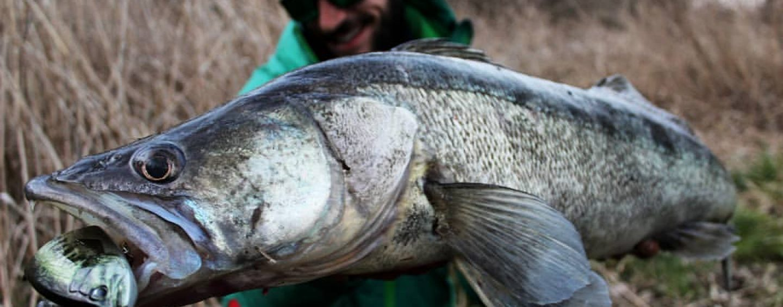 Grandes capturas pescando con swimbaits